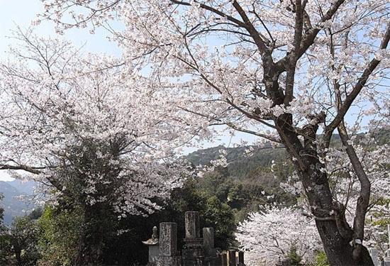 墓と桜.jpg